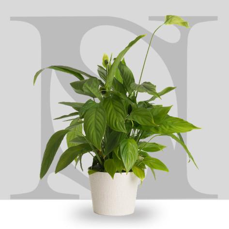 Entretien des plantes vertes en pot